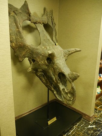 Lakewood, CO: Triceratops skull in the lounge area.