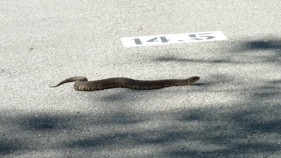 Polk City, FL: Three foot cottonmouth at 14.5 mile marker