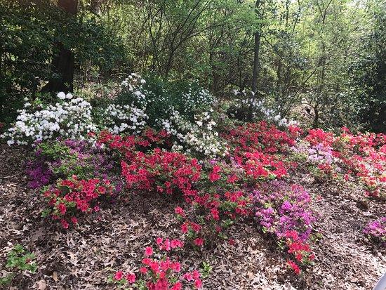 Muskogee, Оклахома: Beautiful azaleas today 4/09/2017! They are fragrant as well!