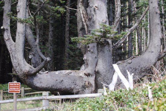 Тилламук, Орегон: Part of the Octopus tree.