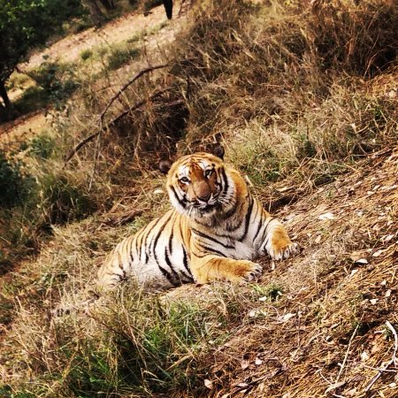 Ludhiana, India: Big Cat