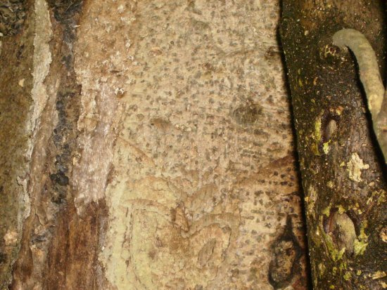 Dendroglyph made by ancient moriori on kopi tree moriori were