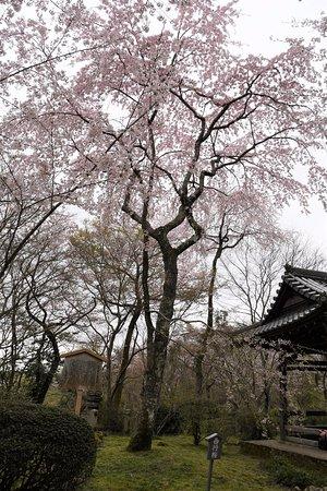 Shojiji Temple : 三代目西行桜