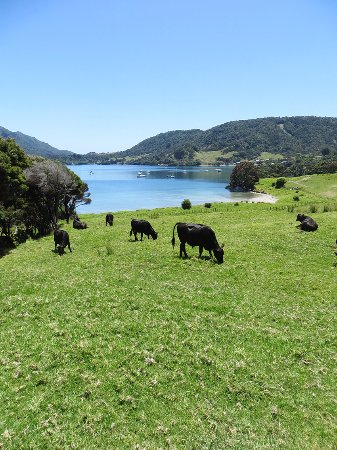 Whangarei Heads, New Zealand: Cows won't be bothered by people passing by