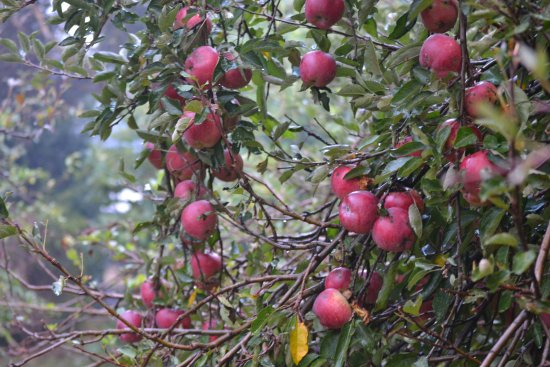 The Birches Luxury Spa Chalets: Red delicious apple tree in the garden