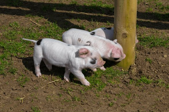 Guiting Power, UK: Three little piggies - sadly no houses of straw, twigs or bricks in sight!