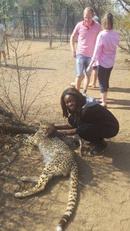 Brits, Südafrika: cheetah interaction