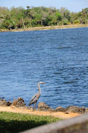 Citrus County: Beautiful bird stands about 4 feet tall