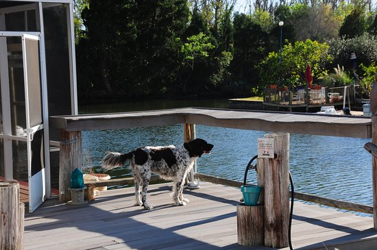 Citrus County: Buddy enjoys our deck/dock