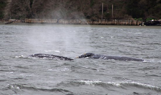 Puget Sound Express - Day Trips: Two whales, side by side. Photo is the property of Lee Sprecace Clark
