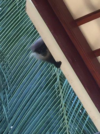 Sea Breeze Guest House: Обезьянки которые живут на территории