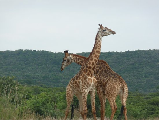 Winterton, South Africa: 2 verliefde giraffen