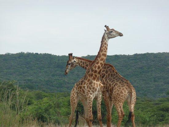 Винтертон, Южная Африка: 2 verliefde giraffen