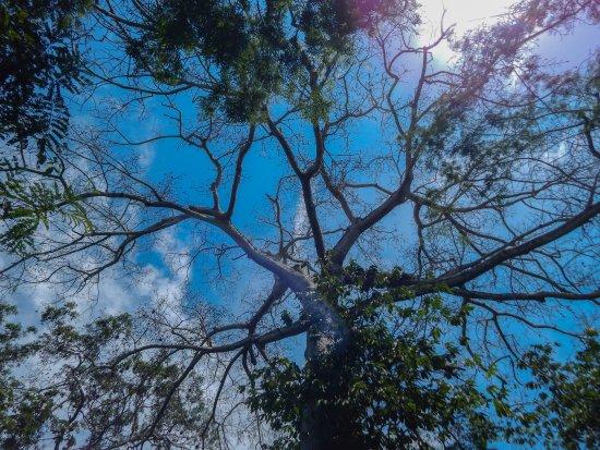 Macaw Bank Jungle Lodge: 100+ yrs old Cieba Tree
