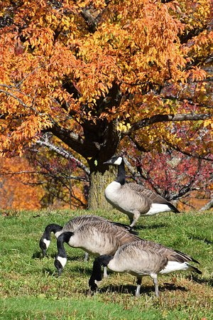 Chanhassen, MN: The geese love the crabapple exhibit in the fall.