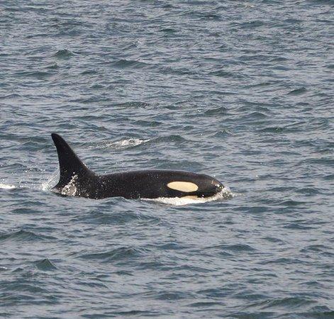 Port Angeles, WA: Orca