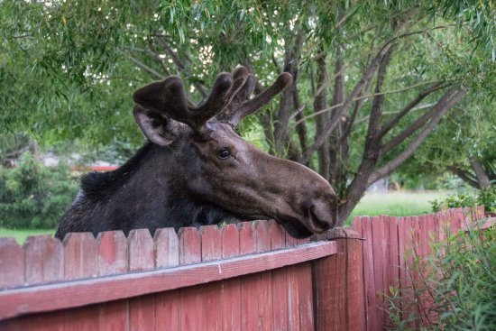 Wilson, WY: Moose watching guests on our driveway