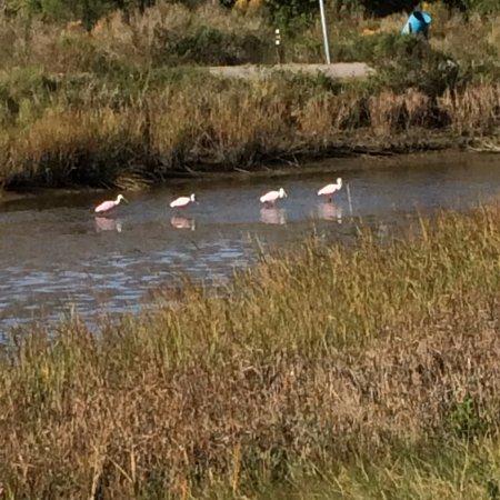 Baytown, TX: Pink spoonbills