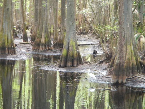 Sebring, Flórida: Beautiful cypress swamp