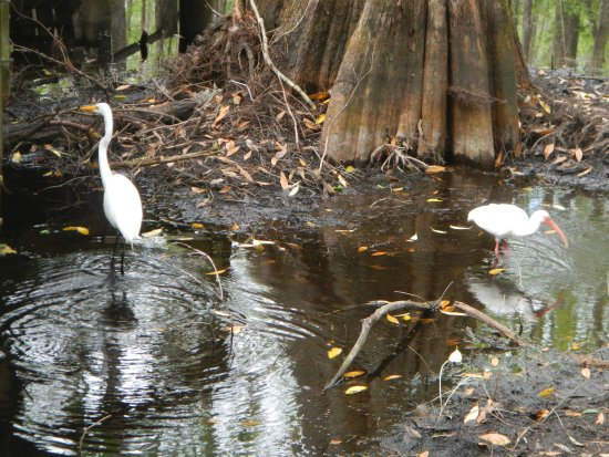 Sebring, FL: Snowy egret and white ibis in the cypress swamp near the boardwalk we were on.