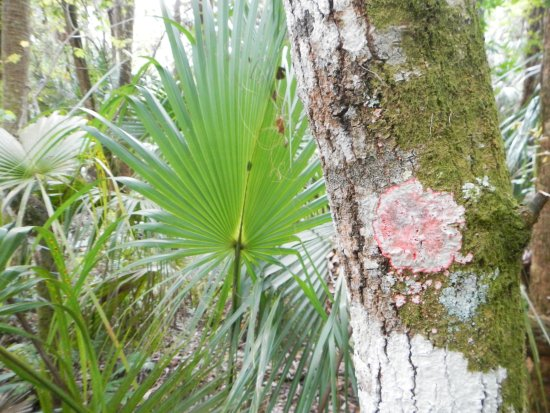 Sebring, FL: More unique plants including this palm and lichens of many colors.