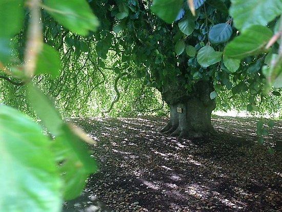 Bowral, Australia: Weeping Cherry Tree