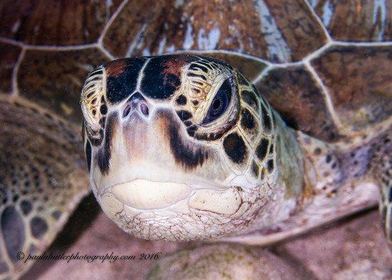 Padangbai, Indonesien: Hawksbill Turtle at the corner