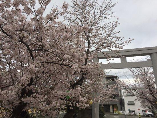Kobe City NAdaku Cherry Blossoms Tunnel