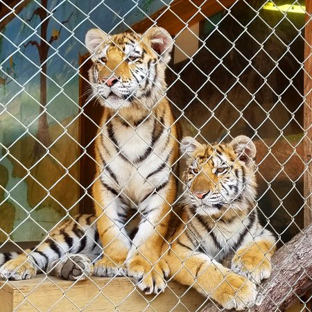 Tiger World : 7 Month old Brother & Sister Tigers