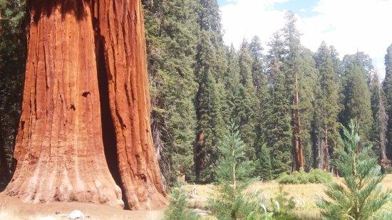 Three Rivers, كاليفورنيا: Detalhe do tronco de uma sequóia (Set/2016).