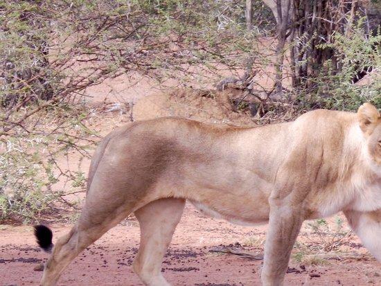 Thabazimbi, Südafrika: Lioness!