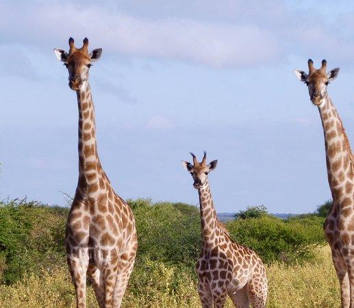 Thabazimbi, Südafrika: Giraffe Family