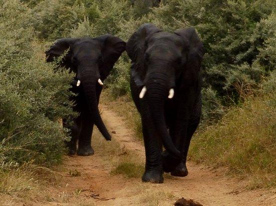 Thabazimbi, Südafrika: Young Elephants