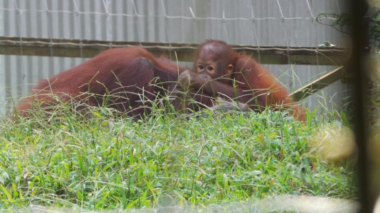 Bukit Merah Orangutan Island Reviews