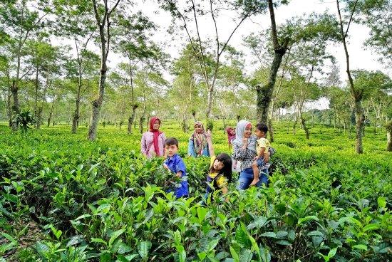 Gambar Kebun Teh Lawang Piknik Ke Kebun Teh Photomalang Com Foto Kebun Teh Wonosari Lawang Tripadvisor