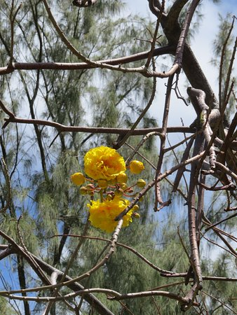 Saint Peter Parish, Barbados: Tree flower