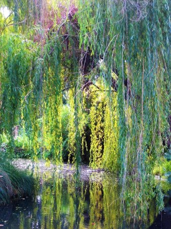 Pegasus Bay Winery Restaurant: Weeping willows and their reflections in a pool