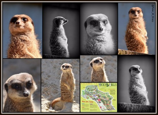 Manaton, UK: Meerkats at Becky Falls