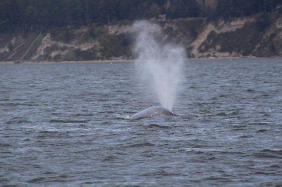 Puget Sound Express - Day Trips: Gray whale near Whidbey Island