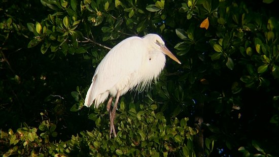 white herron from the beginning of the day picture of everglades
