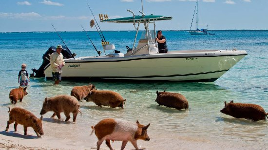 Green Turtle Cay: Swimming with pigs