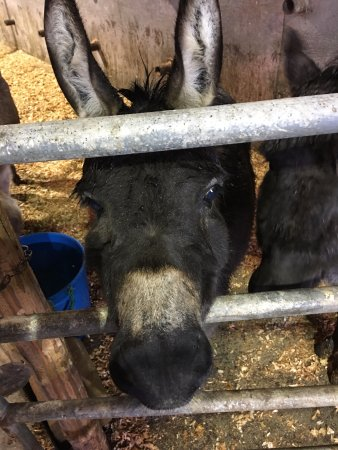 Sedro Woolley, Вашингтон: Miniature donkeys!