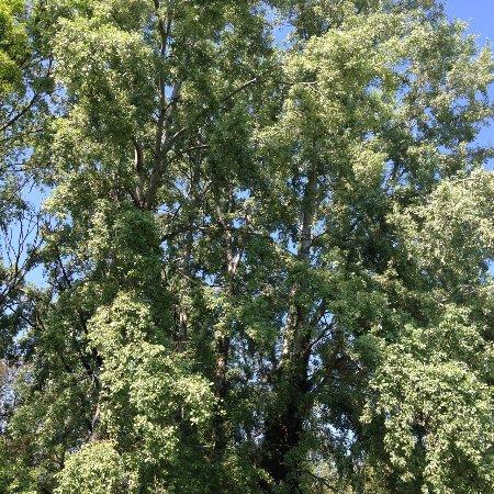 Vescovana, İtalya: albero secolare del giardino all'inglese
