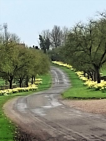 Little Weighton, UK: Daffodils at Rowley Manor