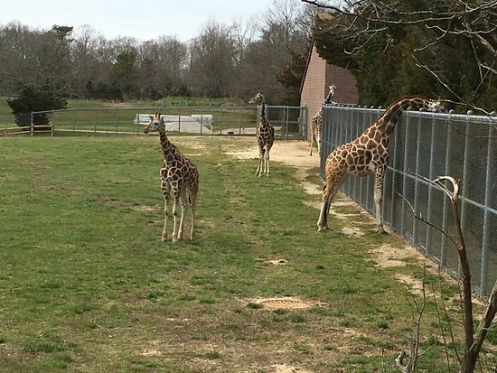 Cape May Court House, Nueva Jersey: Young giraffes!