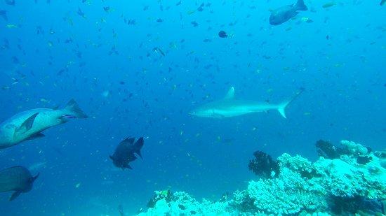 Thoddoo: акула