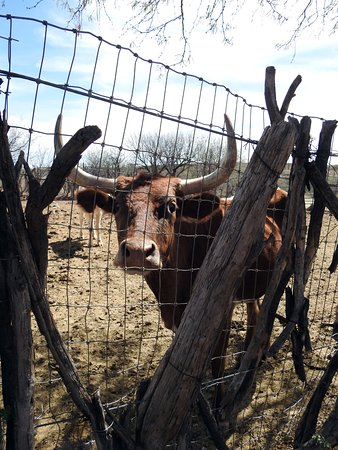 Tombstone Monument Ranch: Long-horned cattle