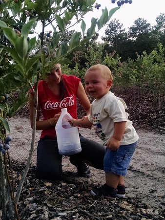 Alachua, FL: Even the wee ones like to pick blueberries