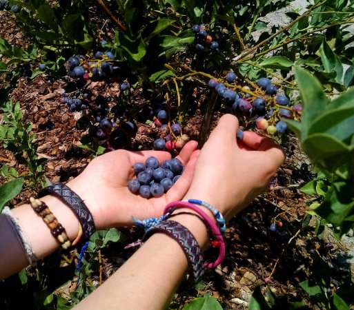 Alachua, FL: Picking blueberries is a pleasure