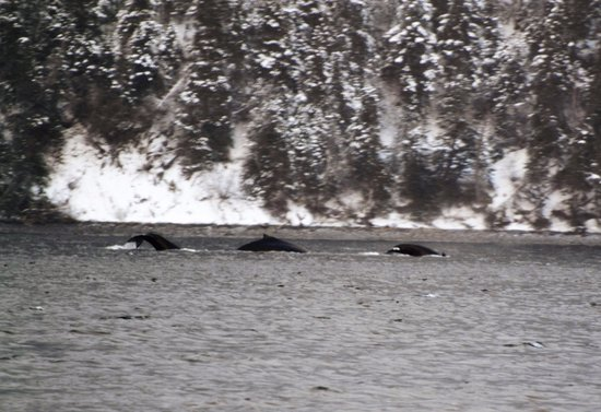 Woody Point, Canada: Three whales or Loch Ness Monster? You decide.